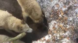 Охота на медведя с западносибирской лайкой