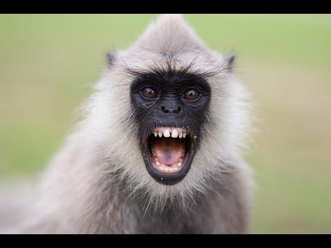 पागल मारवाड़ी बंदर super hit marwadi rajasthani monkeys dance: desi superhit marwadi bhajan monkey in rajasthan