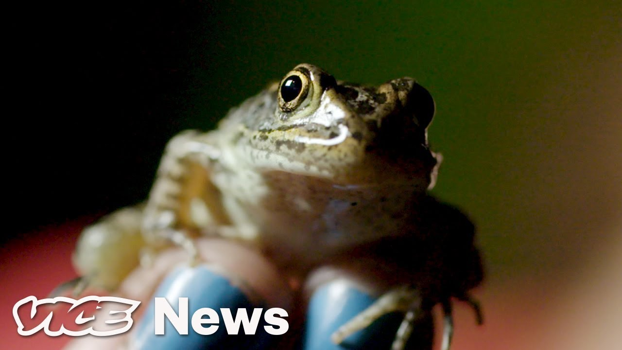 Only 200 Of These Frogs Are Left In The Wild And Kavanuagh Could Decide Their Fate