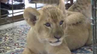 那須サファリパークのライオンの赤ちゃん、アクト(オス/2ヶ月)とカノ(...