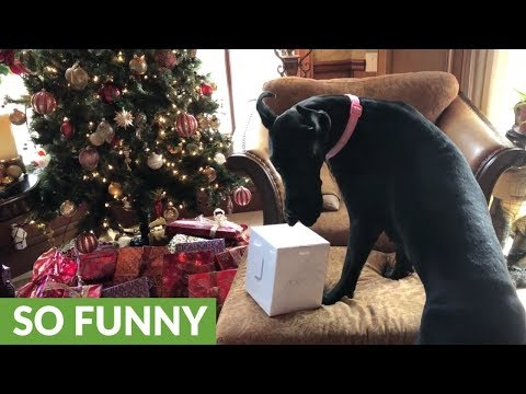 Great Dane puppy swipes gifts from underneath Christmas tree