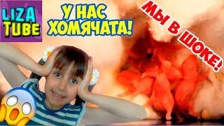 Мы в ШОКЕ!! Наша ХОМКА родила ХОМЯЧАТ!!!!! 🤓 Любимые питомцы Лизы