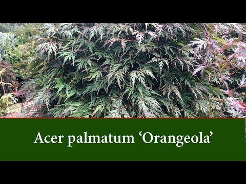 Acer Palmatum Orangeola A Beautiful Weeping Maple Youtube