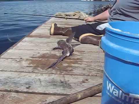 Chimaera , Ratfish