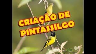CRIAÇÃO DE PINTASSILGO DO SCARFACE
