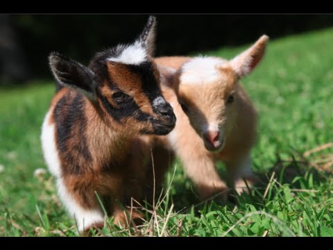 R Goats One Day Old Goat Kids ...