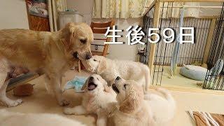 アイン村チロの子生後59日目(Golden Retriever Puppies)