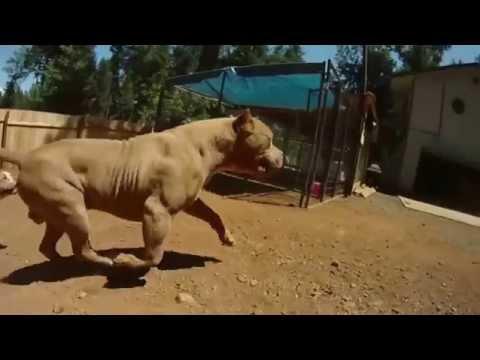 Extreme pitbulls Bossykennels