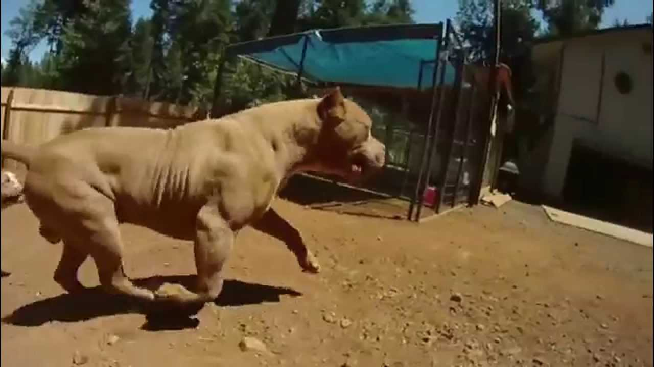 Extreme Pitbulls Bossykennels Youtube