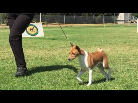 Dog Challenge - Basenji Club of Victoria 49th Specialty Show