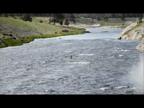 Osprey Catching Fish in Yellowstone