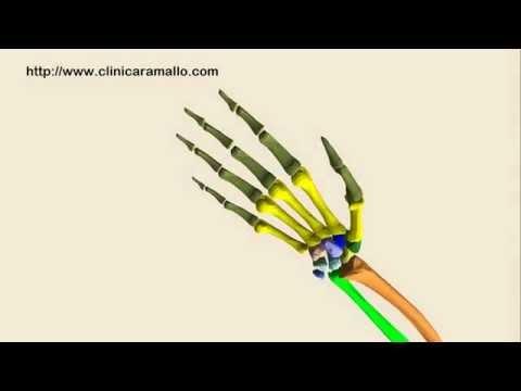 Recreacion animada en 3D de la anatomia del miembro superior humano ...
