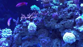 Wrasse Community Mixed reef tank - Fish stock update