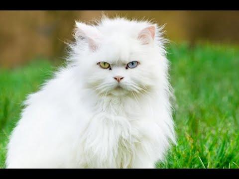 Turkish Angora | Cute Turkish Angora Cat | Turkish Angora Video