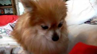World Cutest Pomeranian - My Valentine! Lover -the Sleepy Beauty- Girl  Miss Gi Gi - Part 1