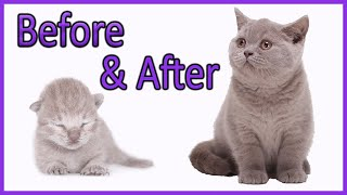 ✔ Learn How Baby Kittens Grow: 010 Weeks! [British Shorthair Lilac boy] Compilation