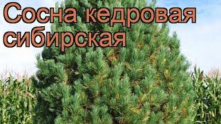 Сосна кедровая Сибирская (kedrovaya-sibirskaya) ???? обзор: как сажать, саженцы сосны Сибирская