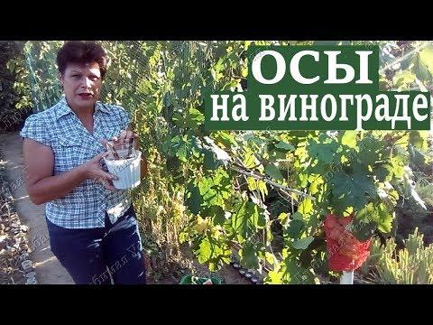Осы на винограде  Как защитить виноград от ос | виноградная | вредителей | вредители | винограде | винограда | виноград | урожай | защита | виног | уход