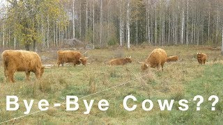 This Could Be The End Of Highland Cattle In Sweden
