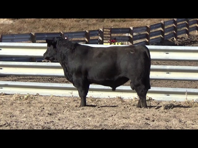 Connealy Angus Lot 102