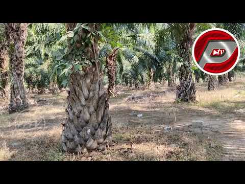 23 ACRES PALM OIL LAND FOR SALE | PALM OIL CULTIVATED PROPER