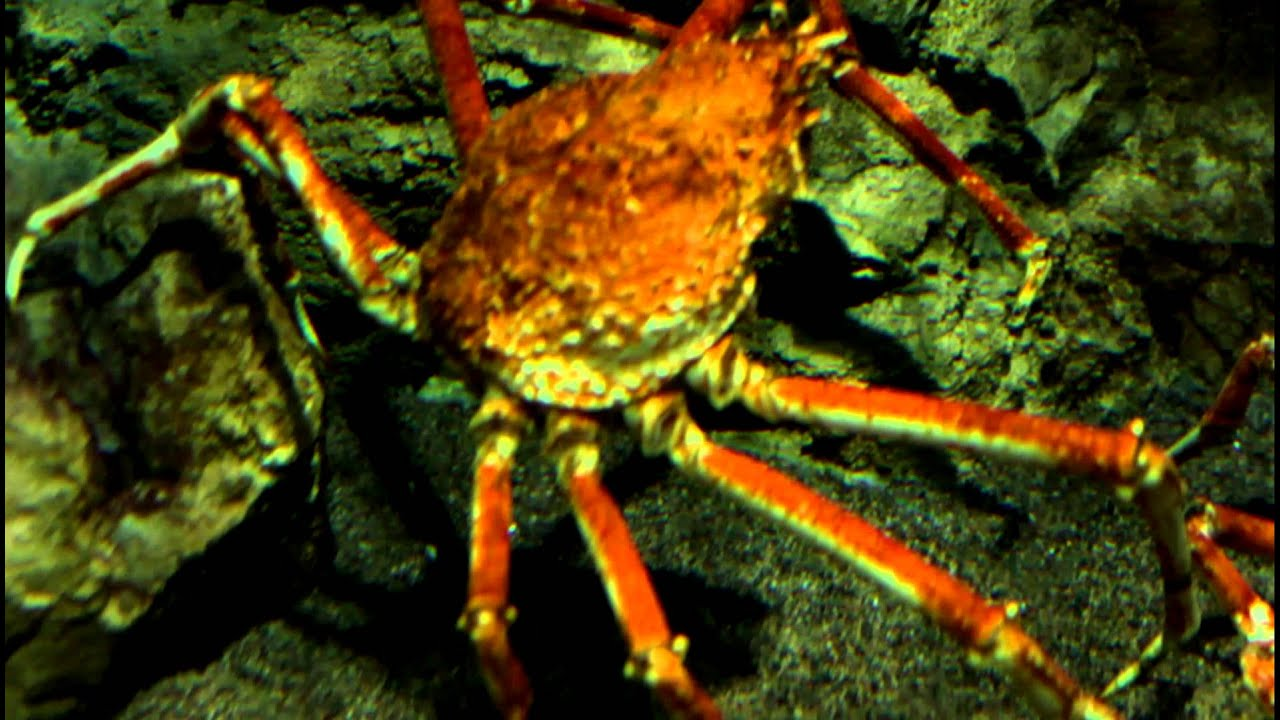Японский краб-паук / Japanese spider crab