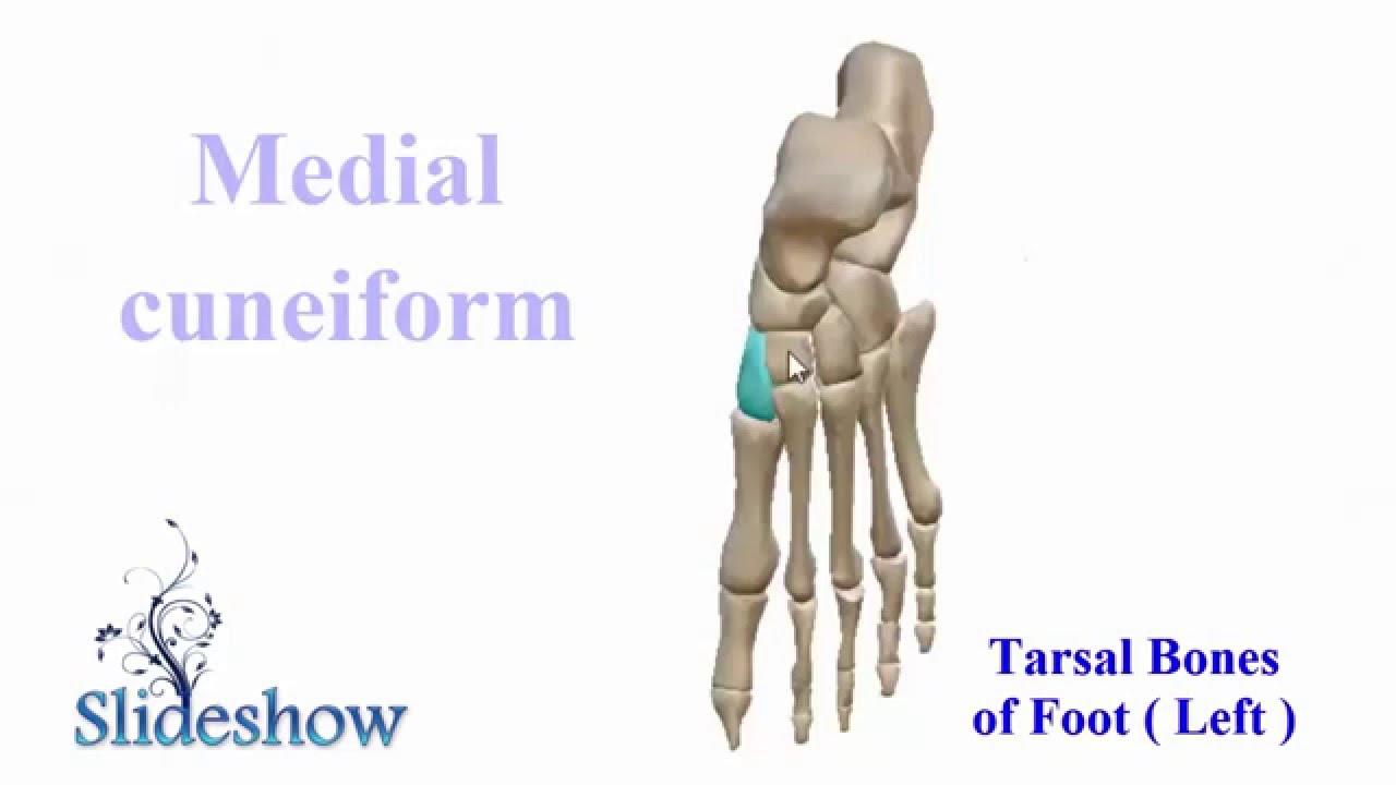 Tarsal Bones Of Foot Youtube