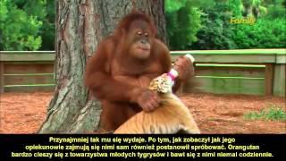 Orangutan niańczy młode tygrysy [PL]