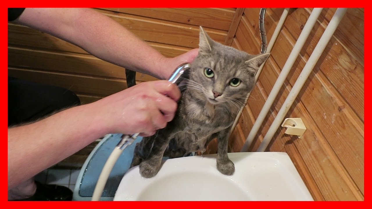 How to wash a cat How to wash a cat for the first time 75