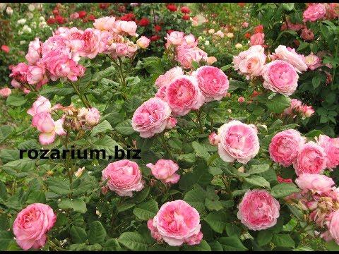 Вопрос: Какие виды парковых роз наиболее распространены?