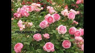 мадам Де Роза