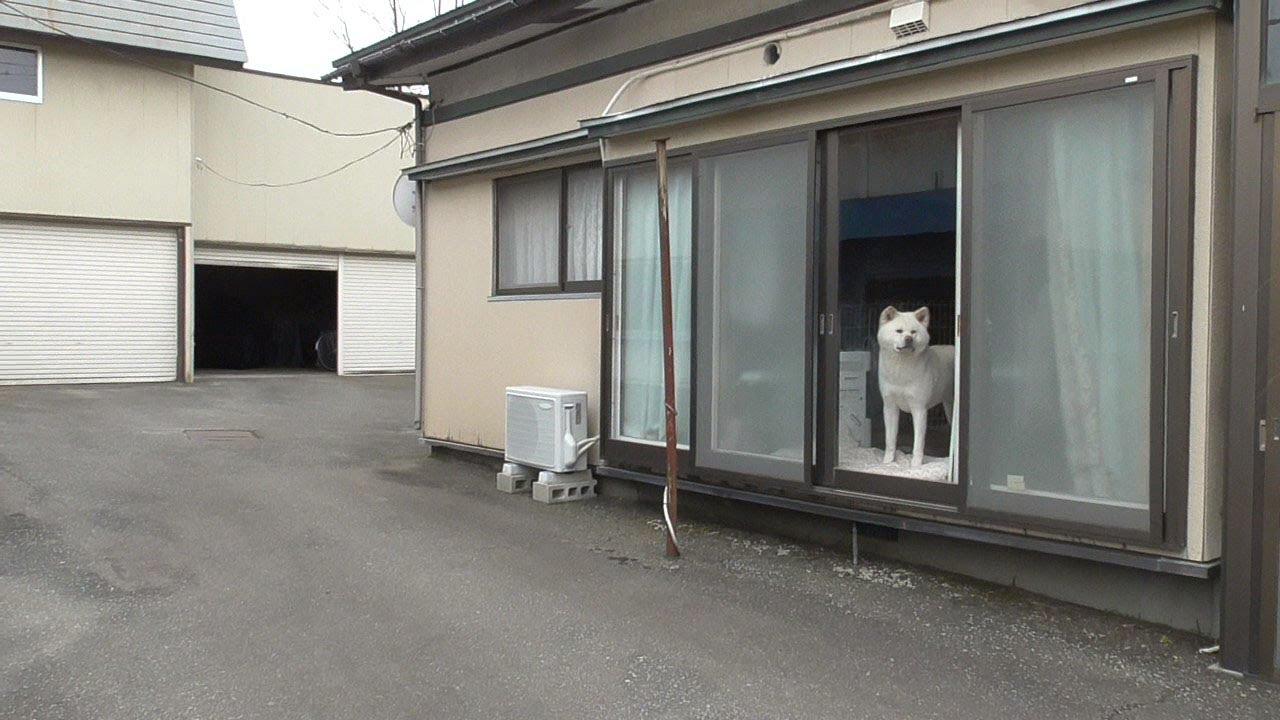 【秋田犬ゆうき】お姉さんがピカピカの新車♪に乗って帰って来たので見守る【akita dog】