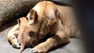 lion mom imani with cub 1 cincinnati zoo