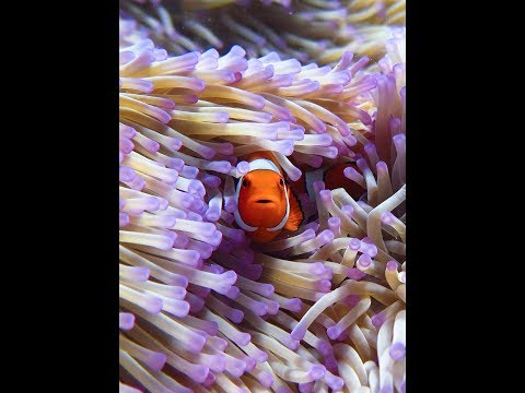 Great Barrier Reef - Clownfish And Anemone