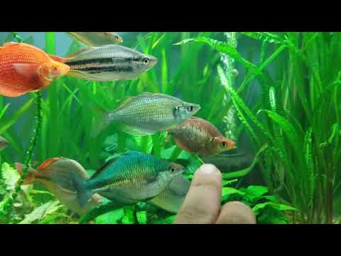 African Cichlid And Rainbowfish Fishroom Tour. PART 2.