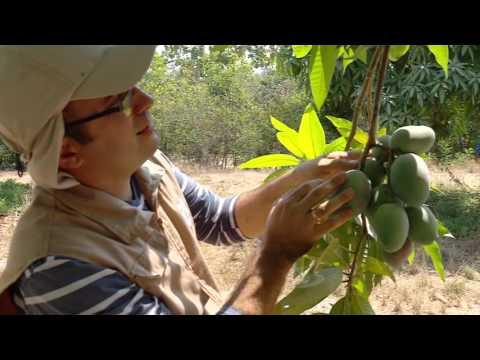 Plagas Que Afectan El Cultivo De Mango | La Finca De Hoy
