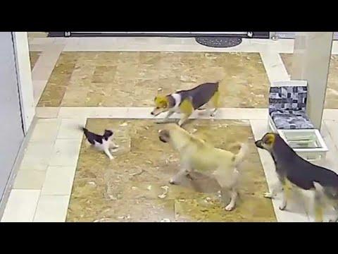 Gato salvando gatito de perros