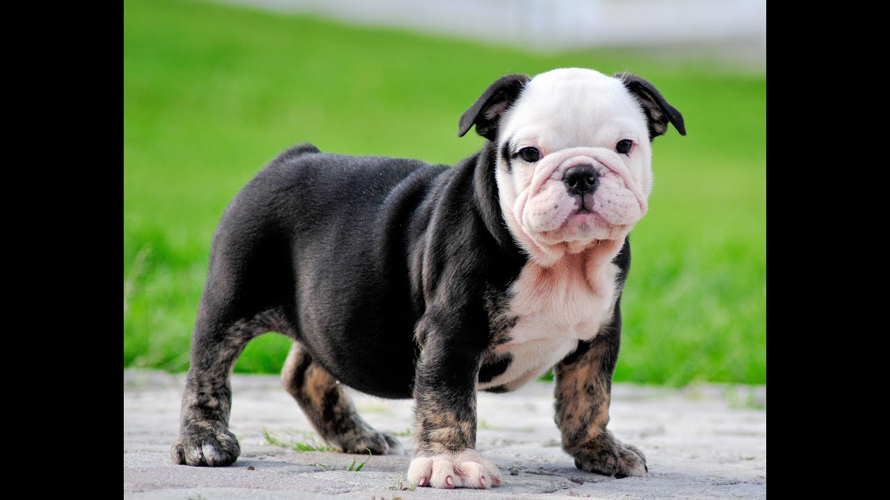 black tri english bulldog puppies for sale mauiexpo kennel