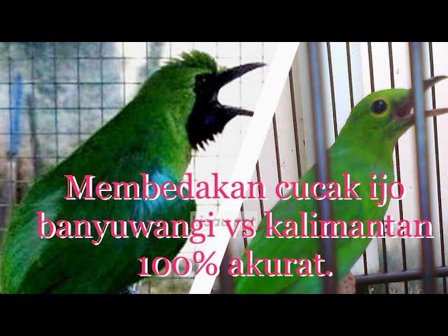 Cara Membedakan Cucak Hijau Banyuwangi Kalimantan Sumatra Youtube