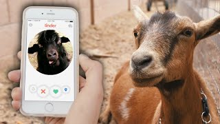Online dating for GOATS? Help her choose a mate!
