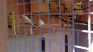Papugi faliste - zaloty i kopulacja
