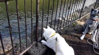 池のカモに戦いを挑むクースケです。フェンス壊しにかかってます(笑)