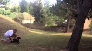 Staffordshire Bull Terrier Nico Jumping Tree