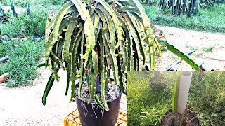 Dragon Fruit - Tнe process of growing and developing dragon fruit trees is extremely effective