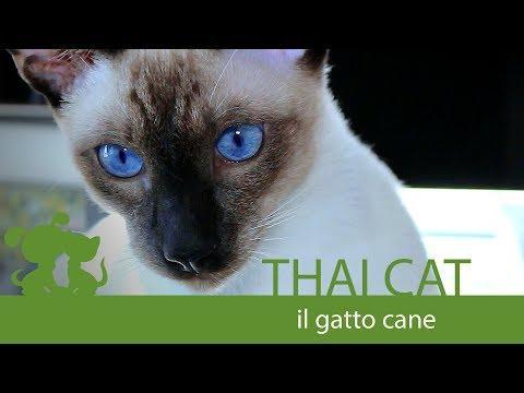 Thai Cat : Il gatto cane #thai #gatto