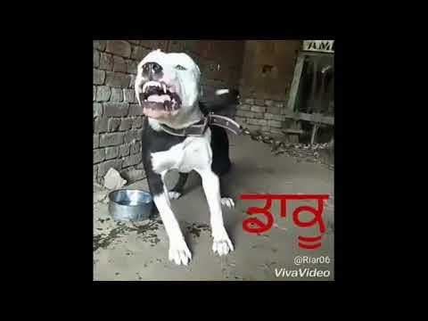 pitbull dog daku full fighter
