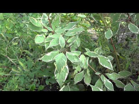 Гортензия фото сорта уход цветы размножение выращивание