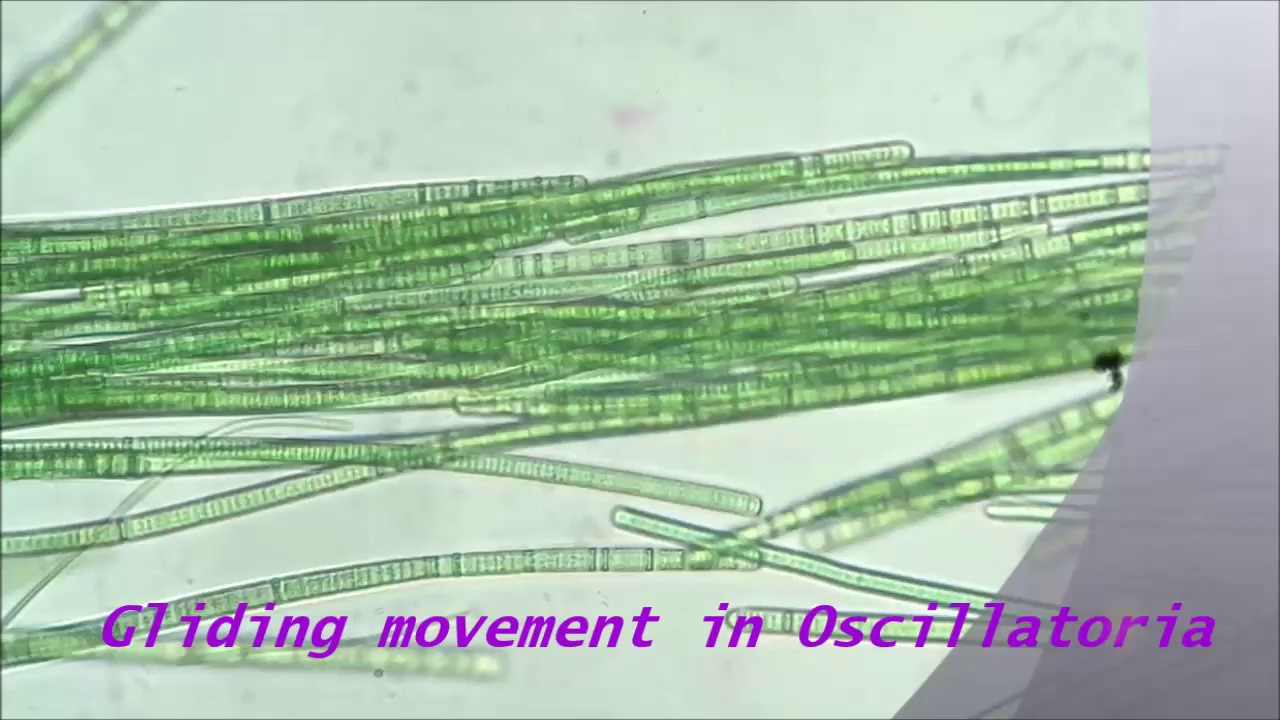 Gliding movement in Oscillatoria - YouTube