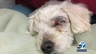 Severely abused dog found dumped in trash in Long Beach   ABC7