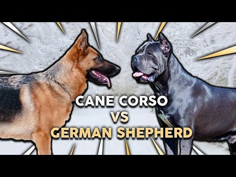 CANE CORSO vs GERMAN SHEPHERD! What's The Best Family Guard Dog?